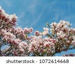 Magnolia Flowers Magnificent...