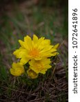 Small photo of Yellow pheasant's eye or Adonis vernalis is a lovely wild spring flower