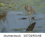 Little Blue Heron Hunting In...