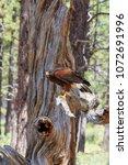 Small photo of North America, United States, Oregon, Eastern Oregon, Bend. Harris's hawk (Parabuteo unicinctus). Captive.