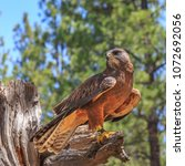 Small photo of North America, United States, Oregon, Eastern Oregon, Bend. Swainson's hawk (Buteo swainsoni) dark morph. Captive.