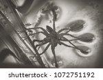 large water spider dolomedes... | Shutterstock . vector #1072751192