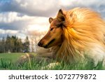 portrait of sable and white... | Shutterstock . vector #1072779872