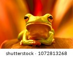 Tree Frogs  Dumpy Frogs ...