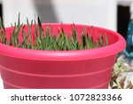 Small photo of Wheat berry grass growing in pink pot.