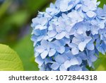 hydrangea flowers  beautiful... | Shutterstock . vector #1072844318