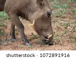 common african warthog in... | Shutterstock . vector #1072891916