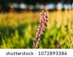 wild flowers lupine in summer... | Shutterstock . vector #1072893386