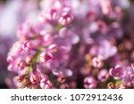 blossom of purple lilac ... | Shutterstock . vector #1072912436