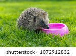 hedgehog drinking water from a... | Shutterstock . vector #1072912832