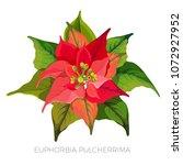 euphorbia pulcherrima plant...   Shutterstock .eps vector #1072927952