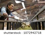 breeder in barn looking at... | Shutterstock . vector #1072942718