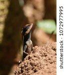 close up of lizard basking on... | Shutterstock . vector #1072977995