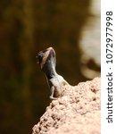 close up of lizard basking on... | Shutterstock . vector #1072977998