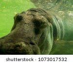 Hippopotamus Lives In The Zoo ...
