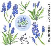muscari   spring flowers ... | Shutterstock .eps vector #1073045225