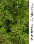cypress thuja evergreen tree... | Shutterstock . vector #1073074472