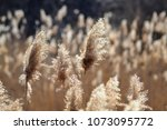 dry reed on the lake  reed... | Shutterstock . vector #1073095772