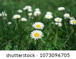 daisies in the field. beautiful ... | Shutterstock . vector #1073096705