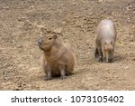 a pair of capybaras in the zoo. ...   Shutterstock . vector #1073105402