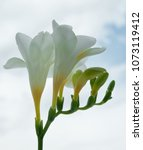 Small photo of Close up blossom of beautiful white freesia (Iridaceae, Ixioideae) flower with buds on light background. Delicate soft pastel creamy and yellow colors. Shallow depth of focus. Spring, love and beauty
