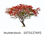 Flame Tree Isolated  Red...