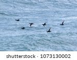 Small photo of Common Scoter seabirds, melanitta negra, duck in flight waves over the ocean during sring migration in April. Dorset, England, UK.