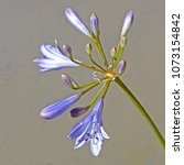 Small photo of Delicate blue agapanthus