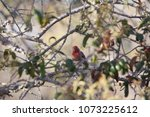 purple finch perched on a live... | Shutterstock . vector #1073225612
