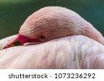 Flamingo   Phoenicopterus...