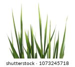 Green Reed  Cane Grass Isolate...