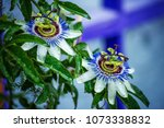 Passionflower Flowers In The...