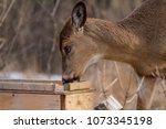 White Tailed Deer Nervous As He ...