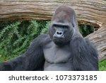 a gorilla at berlin zoo. | Shutterstock . vector #1073373185