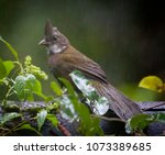 Small photo of Immature Eastern Whipbird, Young green brown bird stands on a fence surrounded by leaves