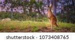 Australian Red Kangaroo
