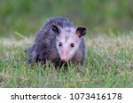 Opossum Walking In Green Grass