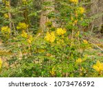 oregon grape  mahonia... | Shutterstock . vector #1073476592