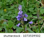 english bluebell hyacinthoides...   Shutterstock . vector #1073539502