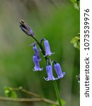 english bluebell hyacinthoides...   Shutterstock . vector #1073539976