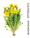 dandelion plant with green... | Shutterstock . vector #1073561372