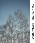 White Leafless Birch Trees In...