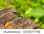Small photo of Female of a bush cricket species (Tettigonia) on a piece of weathered wood.