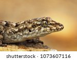 turkish gecko macro portrait ... | Shutterstock . vector #1073607116