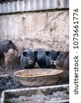 small vietnamese pigs on the... | Shutterstock . vector #1073661776