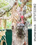 Small photo of grafting with branch of durian tree