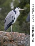 gray heron  ardea cinerea  | Shutterstock . vector #1073740886