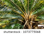 palm oil tree with fresh green... | Shutterstock . vector #1073775068