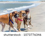 Three Boxer Dogs Playing On Th...