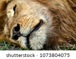 Lion Are Sleepyhead. Often The...